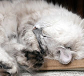 White lazy cat drowsing on the chair — Stock Photo