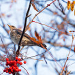 Stock Photo: Fieldfare with red berrys