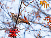 The Fieldfare with red berrys — Stock Photo