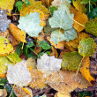 Bright colorful leaves with frost — Stock Photo #14149234