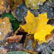 Bright autumn leaves with frost — Stock Photo