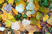 Bright colorful leaves with frost — Stock Photo