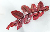 Red autumn leaves with frozen water drops on fresh snow — Stock Photo