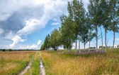 Rural road with birches along summer field — Stock Photo