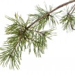 Pine tree branch isolated on white — Stock Photo