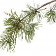 Stock Photo: Pine tree branch isolated on white