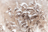 Dry coastal reed cowered with snow, nature background — Stock Photo