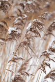 Dry coastal reed cowered with snow — Stock Photo