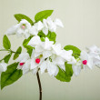 Clerodendron thomsoniae flowers — Stock Photo