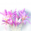 Saffron crocus flowers with soft shadows on white background — Stock Photo