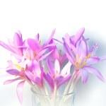 Saffron crocus flowers with soft shadows on white background — Stock Photo