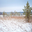 Pine tree and dry reeds on coast of frozen winter lake in Karelia, Russia — Foto Stock #19335879