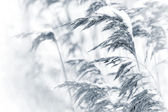 Dry coastal reed cowered with snow, monochrome nature background — Stock Photo