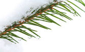 Fir tree branch with snow and frozen water drops on it — Stock Photo