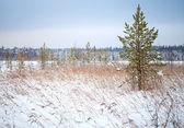 Pino y juncos secos en la costa del lago helado invierno en karelia, rusia — Foto de Stock