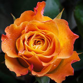 Wet orange and red rose flower close-up photo with shallow depth of field — Stock Photo