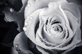 Wet white rose flower monochrome close-up photo with shallow depth of field — Foto Stock