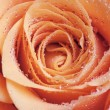 Red and orange rose flower close-up photo with shallow depth of field — Stock Photo