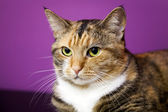 Brown striped Siberian domestic cat on exhibition — Stock Photo