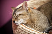 Brown short-haired cat sleeps on the bed — Stockfoto