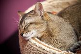 棕色短毛猫儿睡在床上 — 图库照片