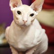 White Don Sphinx cat closeup portrait — Stock Photo #21506681