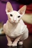 White Don Sphinx cat closeup portrait — Stock Photo