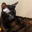 Dark Cornish Rex domestic cat closeup portrait — Stock Photo
