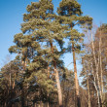 Pine trees in frozen winter forest. Karelia, Russia — Stock Photo #21815741