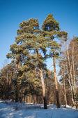 Pine trees in frozen winter forest. Karelia, Russia — Stock Photo
