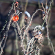 Frozen red rosehip on the wet branch — Stock Photo
