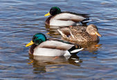 Wild ducks are floating in the sea water — Stock Photo