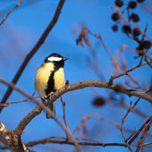 Great tit (Parus major) sit on a branch above blue sky — Stock Photo