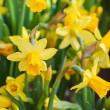 Stock Photo: Bright yellow narcissus flowers in spring garden