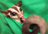 The sugar glider (Petaurus breviceps) on green fabric — Stock Photo