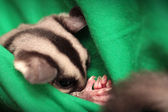 Sugar glider (Petaurus breviceps) sleeps in green vets uniform — Stockfoto