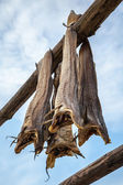 Norwegian traditional stockfish outdoor drying — Stock Photo