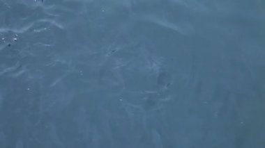 Flock of small fish floats in blue sea water — Stockvideo