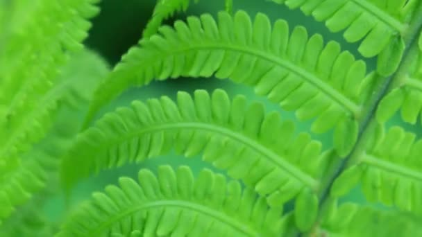 Macro video of fresh bright fern leaves swinging on the wind in the forest — Vidéo