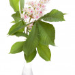 Chestnut flower with leaves in glass vase worth above white background — Stock Photo