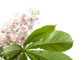 Chestnut flower macro photo with leaves isolated on white — Stock Photo
