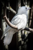White albino crow sits on tree in the forest. Classical Russian metaphor of unusual — Stock Photo
