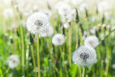 Macro of dandelion flowers with white fluffy flying seeds — Stock Photo