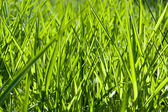 Fresh bright green grass macro background — Stock Photo