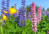 Colorful lupines flowers grow on the meadow — Stock Photo