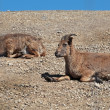 Dagestani mountain goats lie on the ground in sunny day — Stock Photo #27036085
