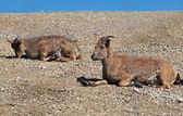Dagestani mountain goats lie on the ground in sunny day — Stock Photo