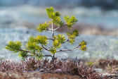 Norwegian spring nature fragment. Small young pine tree on blurred background — Stock Photo