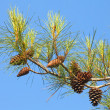 Branch of pine tree with cones above blue clear sky — Stock Photo