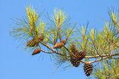 Ramo dell'albero di pino con coni sopra cielo blu chiaro — Foto Stock